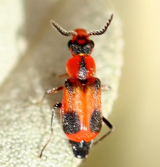 tiny orange and black beetle - Attalus serraticornis
