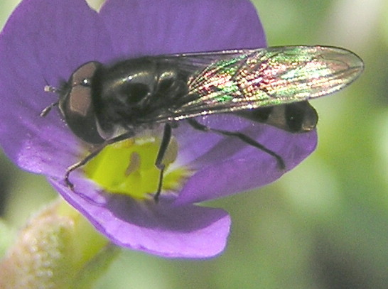 Is this a female of Platycheirus sp - Platycheirus - male