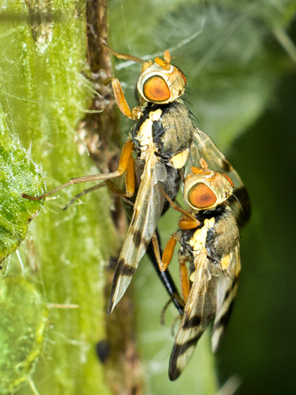 mating Urophora stylata? - Urophora stylata - male - female