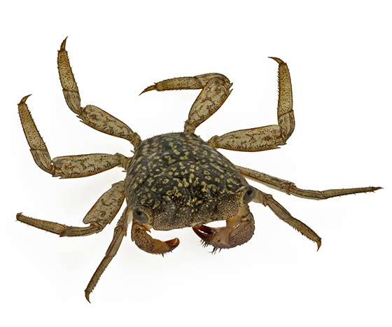 Mangrove tree crab? - Aratus pisonii