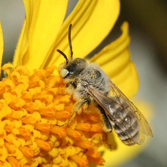 Melittid Bee - Hesperapis - male