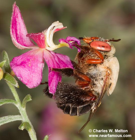 Centris rhodopus - female