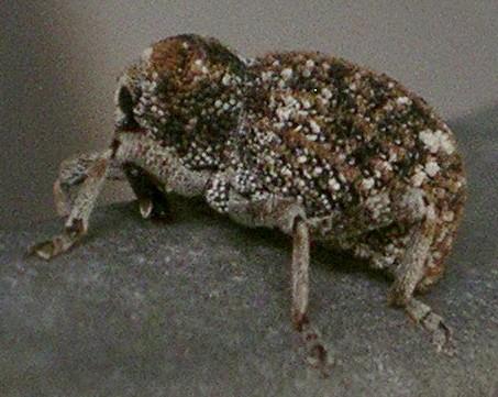 weevil - Gerstaeckeria