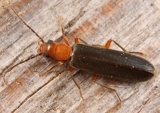 oedemerid - Xanthochroina bicolor