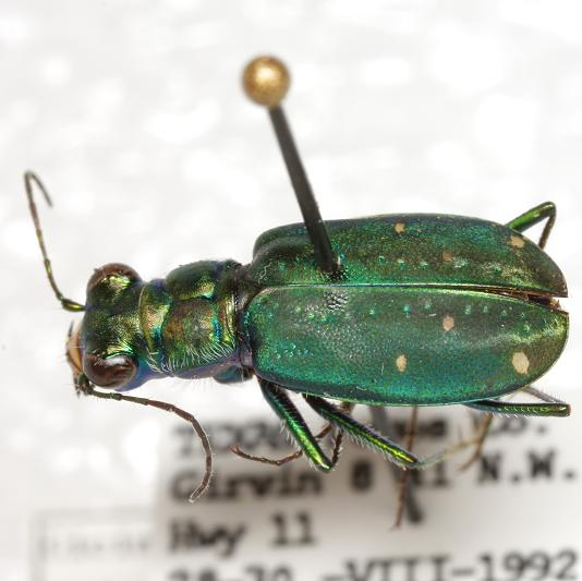Cicindela n. nigrocoerulea LeConte - Cicindelidia nigrocoerulea