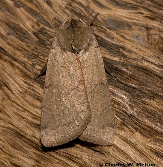 Noctuid Moth - Richia chortalis