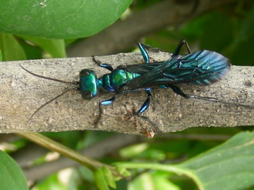 Large Blue-Green Wasp - Chlorion
