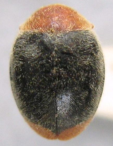 Lady beetle - Cryptolaemus montrouzieri