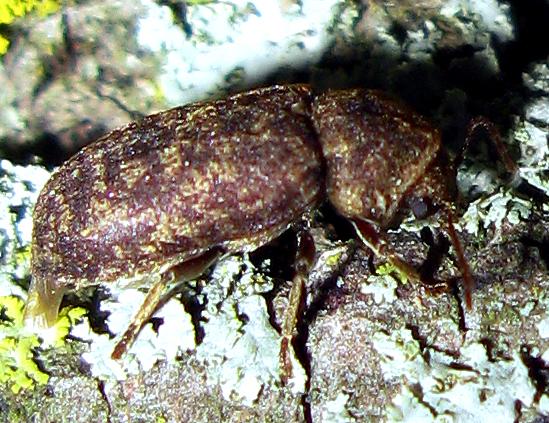 Death-Watch Beetle - Xestobium rufovillosum