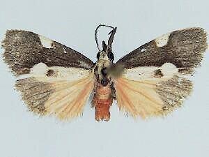 Cisthene conjuncta - Hodges #8073 - Cisthene conjuncta - male