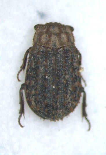 Trox - female