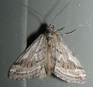 Moth #08-134 - Lithostege