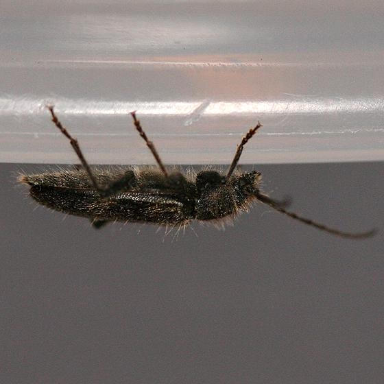 Small Long-horned Beetle - Semanotus terminatus