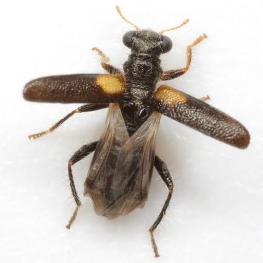 Phyllobaenus humeralis (Say) - Phyllobaenus humeralis