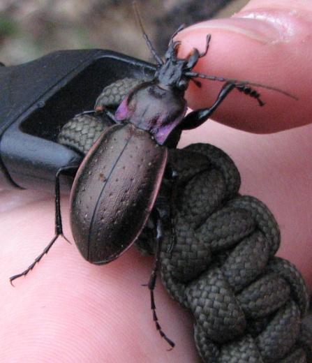 Ground Beetle - Carabus nemoralis - male