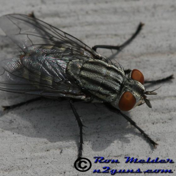 Fly - Sarcophaga