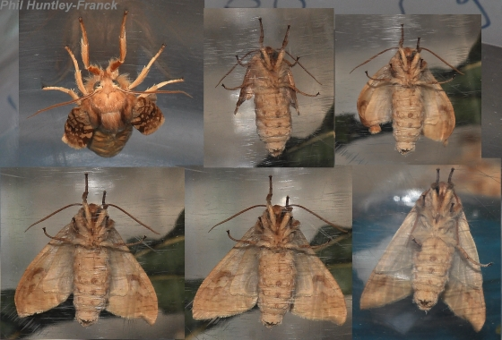 Lophocampa maculata - Development Sequence and observations - Lophocampa maculata - female