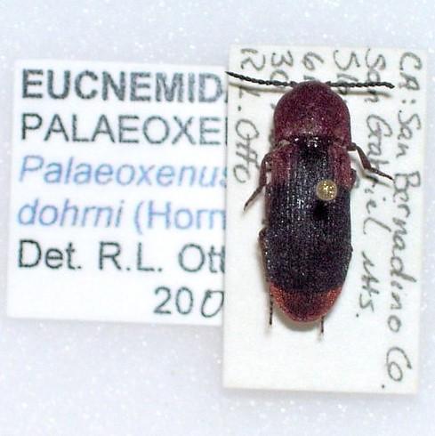 Dohrn's Elegant Eucnemid Beetle - Palaeoxenus dohrnii