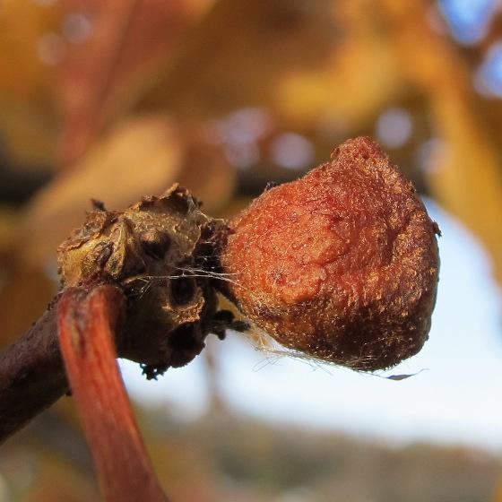 gall on oak - Andricus quercusstrobilanus