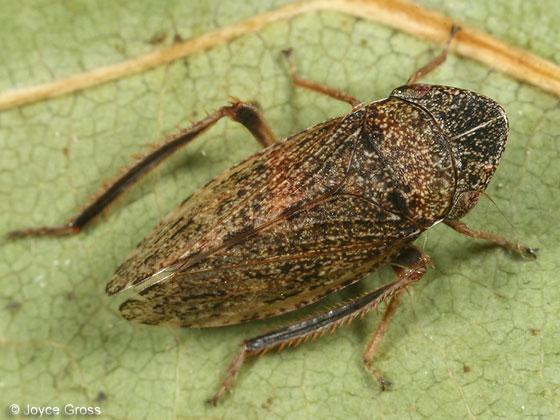 leafhopper - Aphrodes