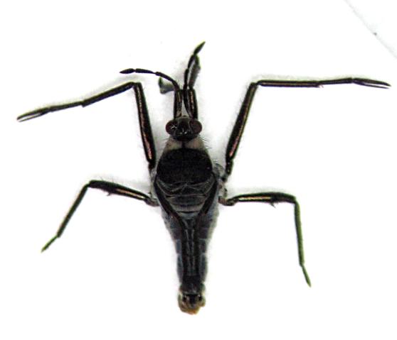 Rhagovelia obesa - female