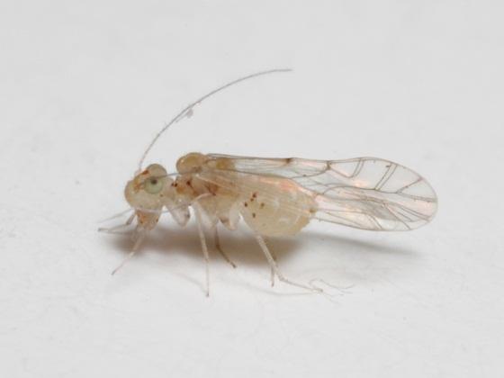 Lachesilla kathrynae Mockford & Gurney - Lachesilla kathrynae - female