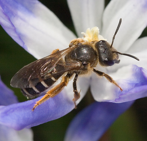 Bee - Halictus - Halictus rubicundus - female