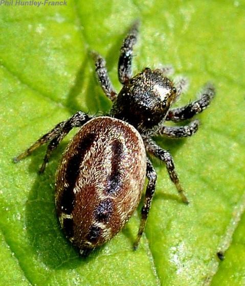 Spider - Metaphidippus manni - female