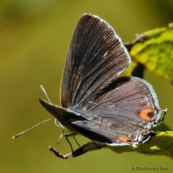 Gray Hairstreak? - Strymon melinus - female