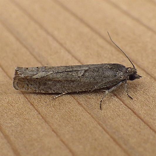Tortricidae: Pseudexentera? - Pseudexentera oregonana