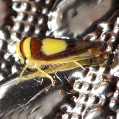 Saddleback Leafhopper  - Colladonus clitellarius