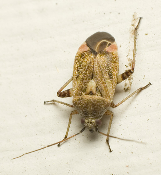 Unknown bug - Polymerus basalis