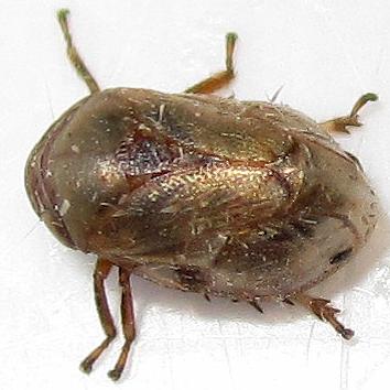 Spittle bug with a dot - Clastoptera xanthocephala