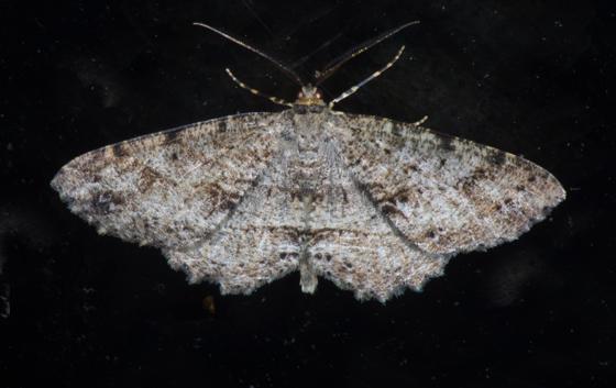 ID request Moth 20 - Melanolophia canadaria