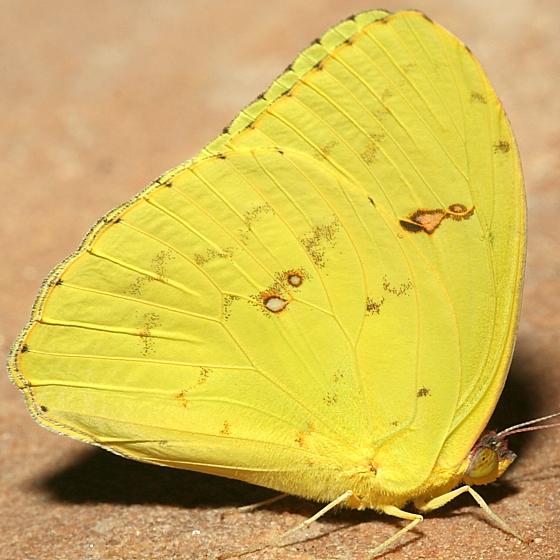 Adult - Phoebis sennae - female