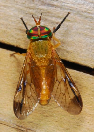 BioBlitz Bug 111 - Diachlorus ferrugatus - female