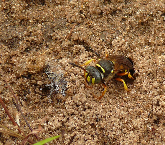 Ant Queen Kidnapping Wasp - Aphilanthops