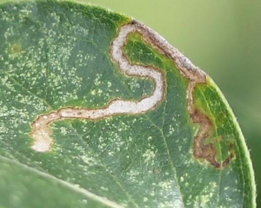 Leaf mines - Fomoria pteliaeella