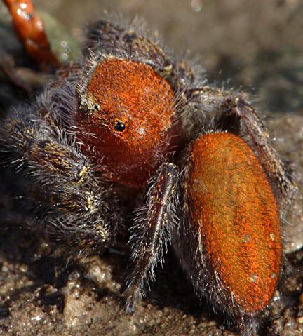 Jumping Spider - Phidippus cardinalis - female