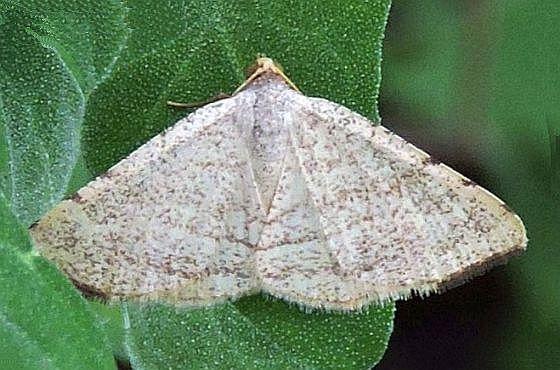Arizona Moth - Taeniogramma octolineata