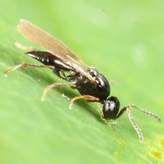 Platygastridae? - Platygaster