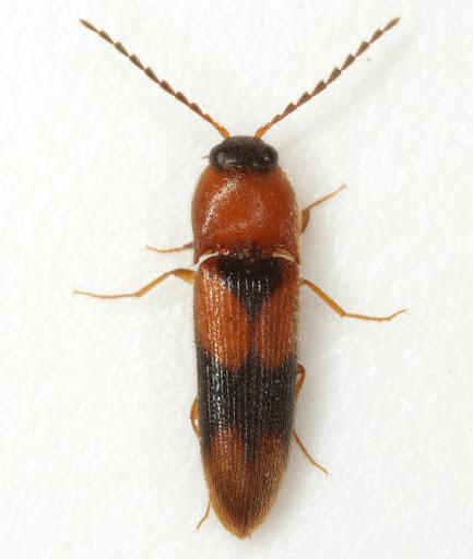 Ampedus areolatus (Say) - Ampedus areolatus