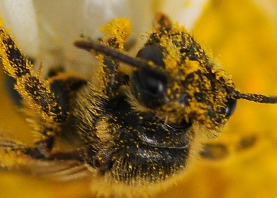 Another angle - Andrena - female