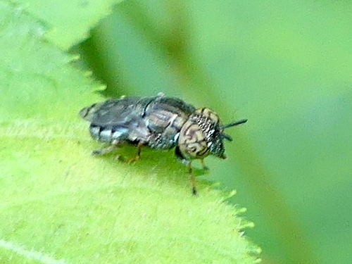 jewel-faced fly - Orthonevra nitida - female