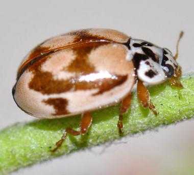 Beetle - Mulsantina picta