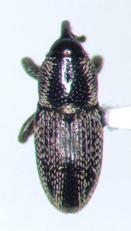 Weevil - Nicentrus saccharinus