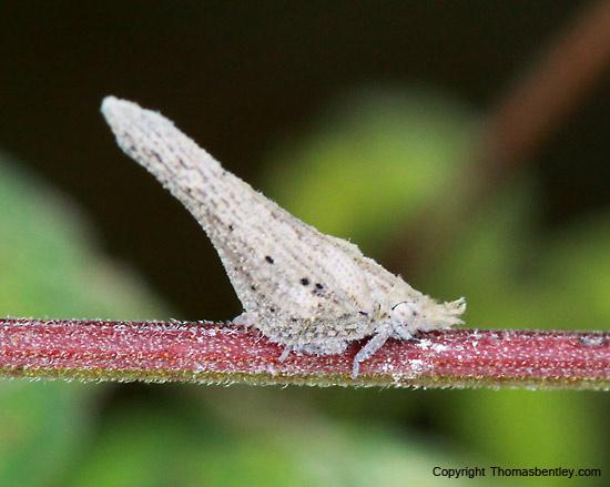 Plant hopper - Cyarda melichari