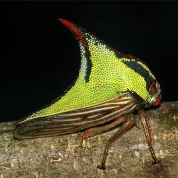 Umbonia crassicornis (Amyot & Serville) - Umbonia crassicornis - female