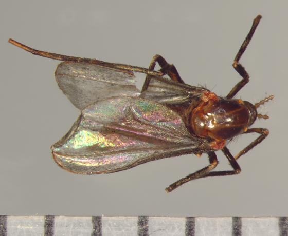 Rhopalomyia hirtipes, dorsal  - Rhopalomyia hirtipes - female