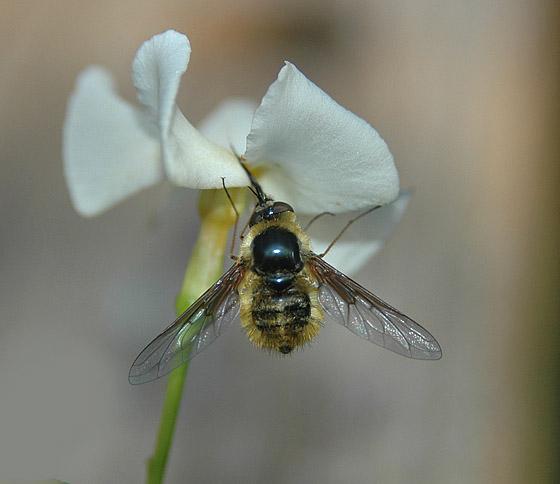 Bee Fly - Bombylius atriceps